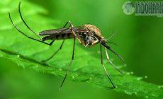Permalink to AWAS!! Penyakit Langka EEE Gigitan Nyamuk Mematikan!