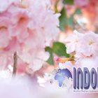 Keampuhan Bunga Tabebuya, Bisa Menyembuhkan Segala Penyakit