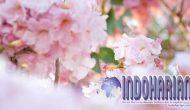 Permalink to Keampuhan Bunga Tabebuya, Bisa Menyembuhkan Segala Penyakit