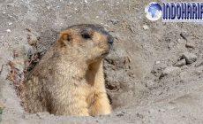 Permalink to Gawat!! Fakta Daging Marmot Yang Menjadi Sumber Penyakit