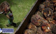 Permalink to Adanya Kerja Paksa, Kini AS Blokir Impor Sawit Dari Malaysia