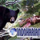 Seram !!! Begini Kondisi Penambang DiTerkam Beruang