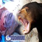 Merasa Terancam Anaknya, Beruang Madu Melawan Manusia Dan Hasilnya..