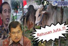Tidak Tanggung-tanggung Jokowi dan Jk Sumbang Sapi Jenis Ongole Seharga…