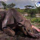 Ini Alasan Foto Bangkai Badak Menangi Penghargaan Bergengsi Wildlife Photographer
