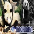 Nenek Panda Gantikan Panda Tertua di Dunia dan Rayakan Ultah Ke-35