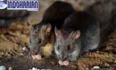 Permalink to News!! Akibat Wabah Tikus Australia, Yang Berdampak Pada…
