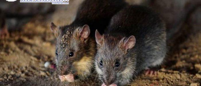 News!! Akibat Wabah Tikus Australia, Yang Berdampak Pada…