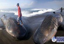 Lagi-lagi Penemuan Tiga Ekor Bangkai Hiu Paus di Perairan NTT