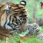 Jumlah Harimau Sumatera Diperkirakan Terus Meningkat, Karena adanya..