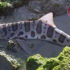 Lagi-lagi, Hiu Leopard Terdampar Karena Diduga Adanya